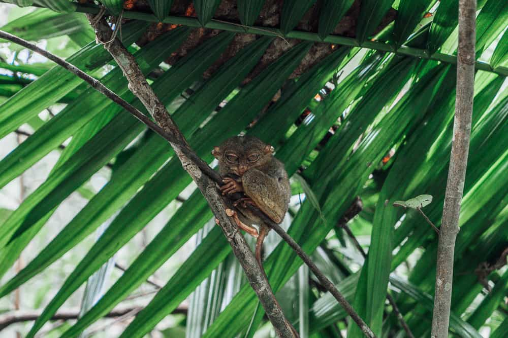 tarsier sanctuary bohol, tarsier bohol, tarsier in bohol, bohol tarsier, tarsier monkey, tarsier sanctuary, tarsier conservation area, what is a tarsier, tarsier pictures, tarsier sanctuary in bohol, tarsier monkey bohol, philippines tarsier sanctuary, bohol tarsier sanctuary, tarsier eyes, tarsier images, tarsier philippines