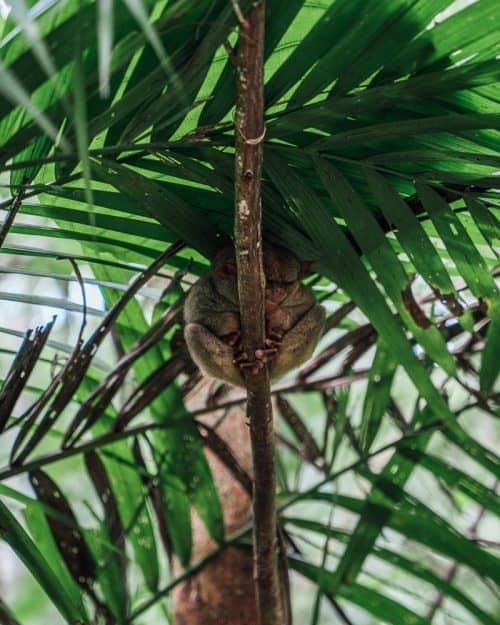 tarsier sanctuary bohol, tarsier bohol, tarsier in bohol, bohol tarsier, tarsier monkey, tarsier sanctuary, tarsier conservation area, what is a tarsier, tarsier pictures, tarsier sanctuary in bohol, tarsier monkey bohol, philippines tarsier sanctuary, bohol tarsier sanctuary, tarsier eyes, tarsier images, tarsier philippines