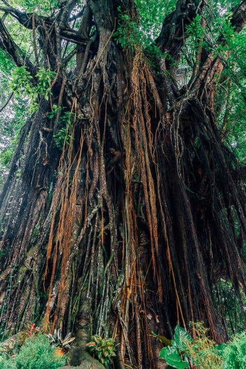 century old balete tree, century old balete tree siquijor, enchanted tree siquijor, enchanted balate tree siquijor, old tree siquijor, balete tree siquijor