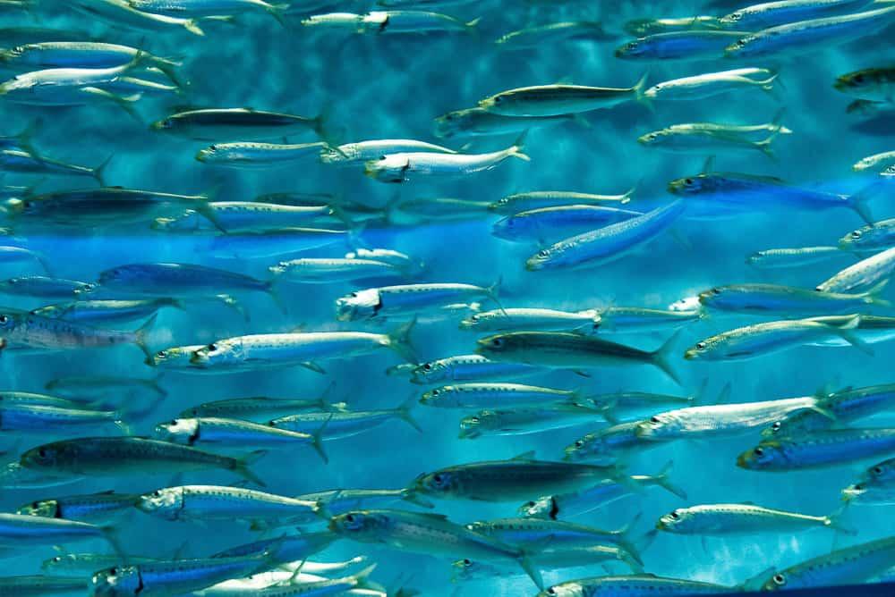 sardines 2