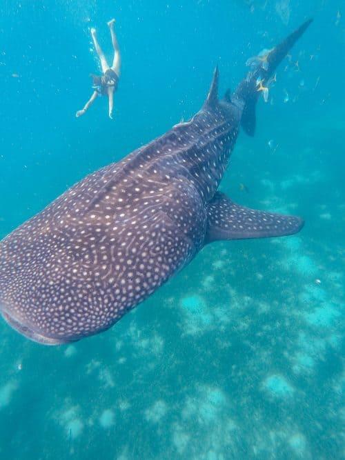 whale sharks cebu, whale shark cebu, swimming with whale sharks cebu , cebu whale shark tour, whale shark watching cebu, oslob cebu, oslob whale watching, oslob whale shark, where to stay in oslob, oslob whale shark watching, oslob whale shark tour, oslob cebu whale shark, cebu swim with whale sharks, swim with whale sharks cebu, swimming with whale sharks in cebu, whale shark in cebu, whale sharks oslob, oslob whale sharks, cebu whale shark, whale sharks in philippines