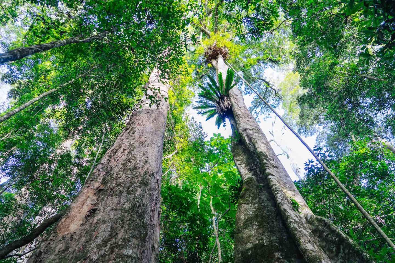 box forest circuit, lamington national park walks, lamington national park, lamington national park hikes, oreillys rainforest retreat, springbrook national park walks
