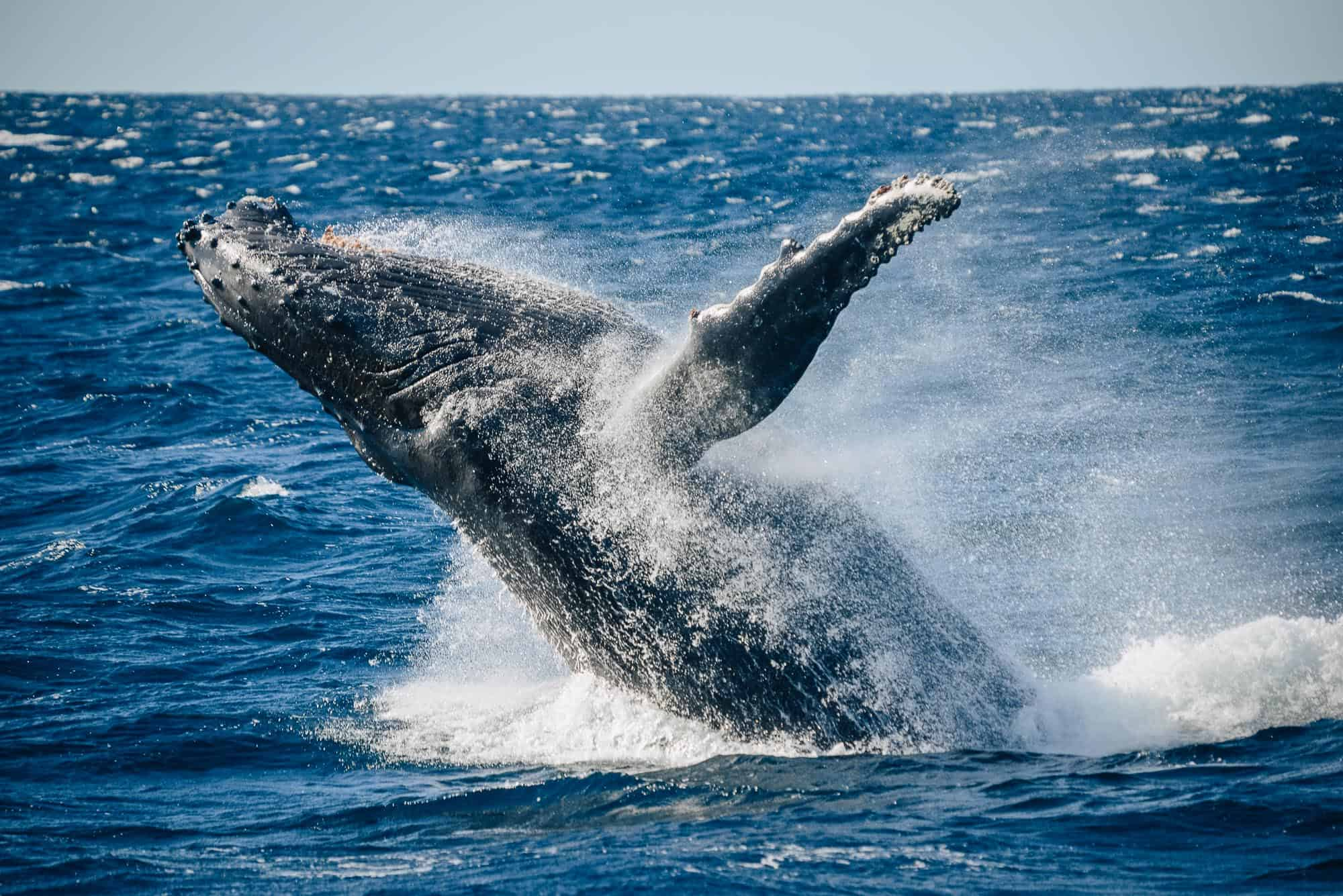 whale watching jervis bay, whale watching in jervis bay, whale watching huskisson, dolphin watch jervis bay, jervis bay cruises, dolphin watch jervis bay, jervis bay whales, jervis bay cruises, jervis bay