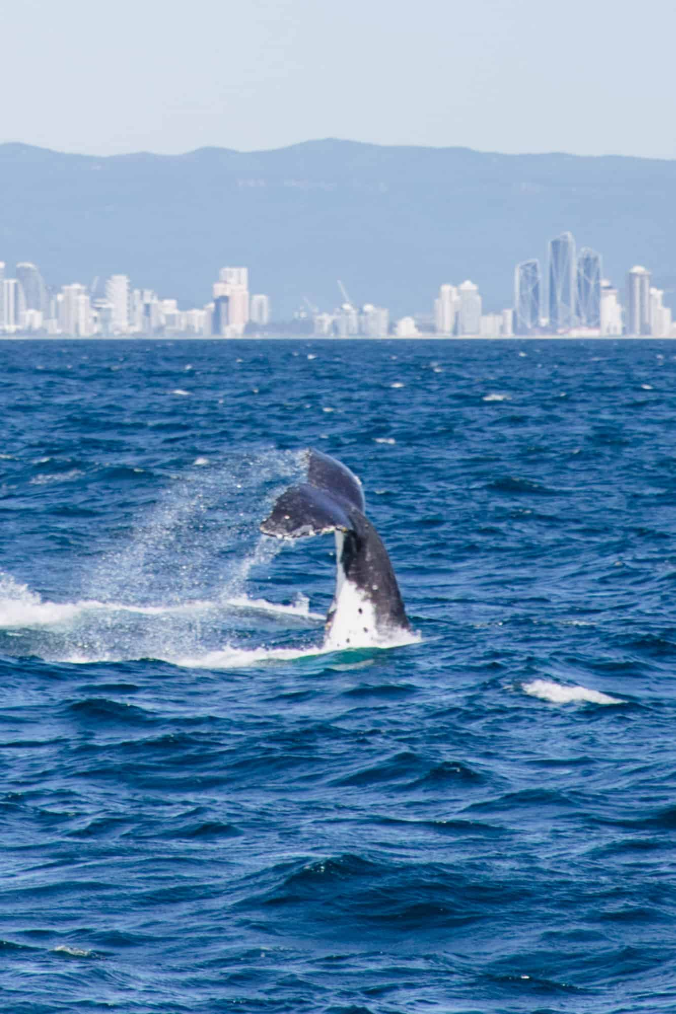 whale watching gold coast, gold coast whale watching, whale season gold coast, whale watching season gold coast, whales watching gold coast, gold coast whale watching season