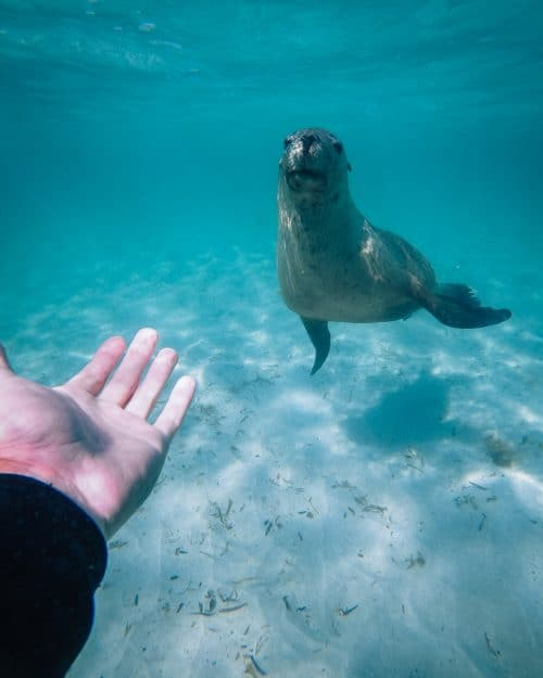 jurien bay sea lions, sea lions jurien bay, jurien bay
