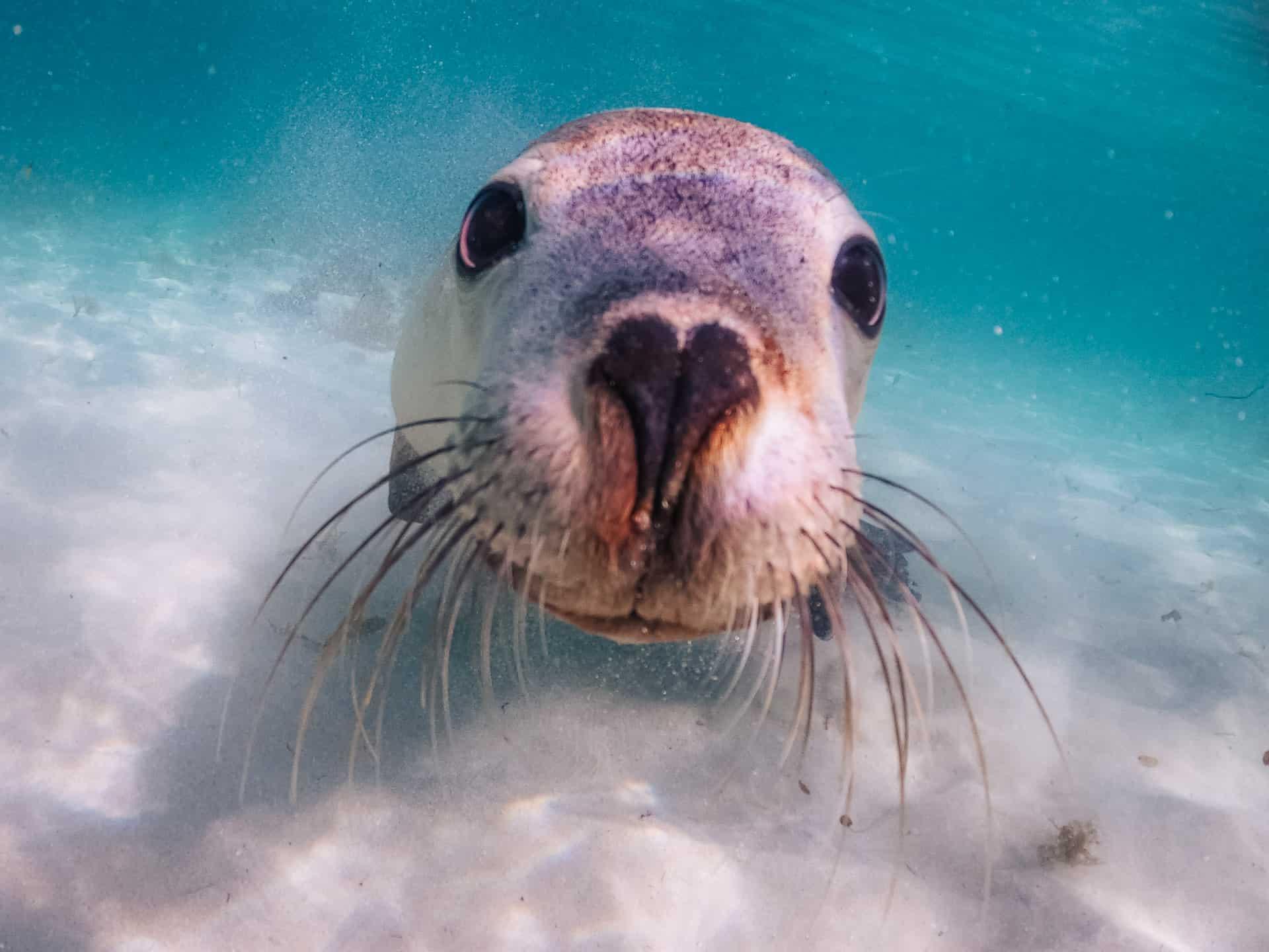 jurien bay sea lions, sea lions jurien bay, jurien bay